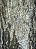 Fragmento del tronco del abedul con el modelo natural de la corteza de abedul Fotos de archivo