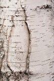 Fragmento del tronco del abedul con el modelo natural de la corteza de abedul Fotos de archivo libres de regalías