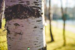 Fragmento del tronco de árbol de abedul Foto de archivo libre de regalías