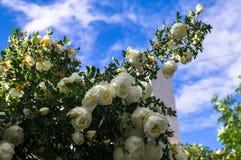 Fragmento do arbusto luxúria do dogrose, enchido ricamente com flores brancas Imagens de Stock Royalty Free