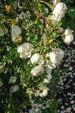 Fragmento do arbusto luxúria do dogrose, enchido ricamente com flores brancas Fotos de Stock Royalty Free