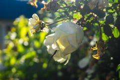 Fragmento do arbusto luxúria do dogrose, enchido ricamente com flores brancas Fotografia de Stock Royalty Free