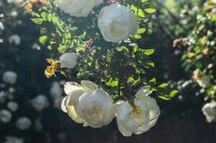 Fragmento do arbusto luxúria do dogrose, enchido ricamente com flores brancas Imagem de Stock Royalty Free