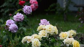 Fragmento do jardim com as rosas de cores diferentes vídeos de arquivo