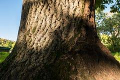 Fragmento do tronco de um carvalho velho na jarda da universidade estadual de Moscou, Rússia Fotografia de Stock Royalty Free