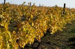 Fragmento em uma inclinação do monte, folhas do vinhedo do ouro, queda Imagem de Stock