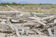 Fragments des arbres morts sur la plage de la Toscane photographie stock