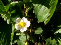 Fragola del fiore fotografia stock