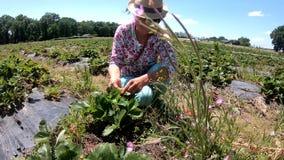 Fragola del raccolto della donna nel campo stock footage