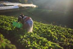 Fragola della scelta dell'agricoltore di mattina Immagini Stock