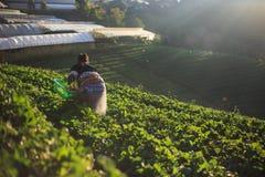 Fragola della scelta dell'agricoltore di mattina Immagini Stock Libere da Diritti