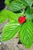 Fragola di bosco Fotografia Stock