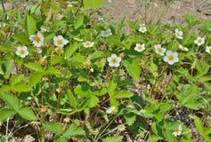 Fragola di fioritura 5 Fotografia Stock