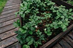 Fragola di fioritura nel giardino immagini stock libere da diritti