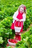 Fragola di raccolto della bambina su un campo dell'azienda agricola Fotografie Stock Libere da Diritti