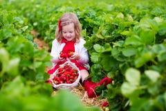 Fragola di raccolto della bambina su un campo dell'azienda agricola Fotografia Stock