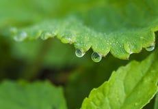 Fragola dopo pioggia Fotografia Stock