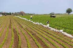 Fragola e campo di soja con la gente e la meccanizzazione, Kisac, Serbia immagine stock libera da diritti