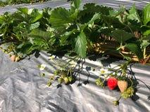 Fragola fresca organica nell'azienda agricola, nell'agricoltura e in foo della fragola Fotografia Stock Libera da Diritti