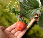 Fragola, Lat del Da, dalat, frutta, agricoltura Fotografie Stock Libere da Diritti