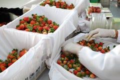 Fragola, Lat del Da, dalat, frutta, agricoltura Immagini Stock