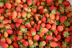 Fragola, Lat del Da, dalat, frutta, agricoltura Fotografia Stock Libera da Diritti