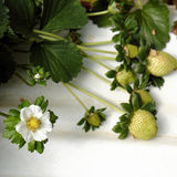 Fragola, Lat del Da, dalat, frutta, agricoltura Immagine Stock