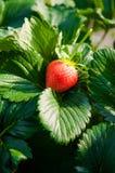 Fragola matura, azienda agricola della fragola Fotografie Stock Libere da Diritti