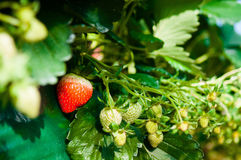 Fragola matura, azienda agricola della fragola Fotografie Stock