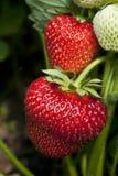 Fragola nel giardino della frutta Fotografia Stock Libera da Diritti