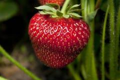 Fragola nel giardino della frutta Fotografie Stock