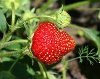 Fragola nel giardino della frutta Fotografia Stock