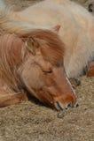 Fragola Roan Icelandic Horse di sonno Fotografie Stock