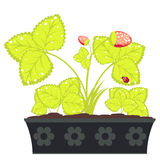 Fragola in vaso di fiore Immagine Stock