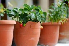 Fragole che crescono in vaso di fiore Fotografie Stock Libere da Diritti