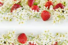Fragole con i fiori della ciliegia di uccello su un fondo bianco Priorità bassa piena di sole della sorgente Confine con lo spazi Immagini Stock Libere da Diritti