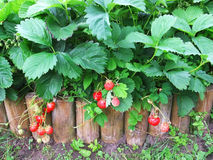 Fragole con le foglie verdi nel giardino Immagini Stock Libere da Diritti