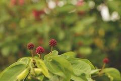 Fragole di bosco rosa minuscole dei fiori selvaggi - giorno soleggiato in giardino verde fotografia stock libera da diritti