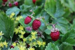 Fragole di bosco rosse che crescono nel frutteto Immagine Stock Libera da Diritti