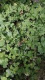 Fragole di bosco Siepe di arbusti di Dorset Il Regno Unito Immagini Stock Libere da Diritti