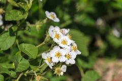 Fragole di fioritura fotografie stock