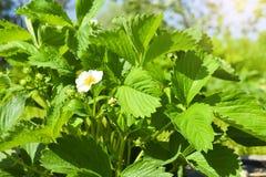 Fragole di fioritura un giorno soleggiato nel giardino fotografia stock libera da diritti