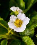 Fragole di giardino dei fiori Fotografia Stock Libera da Diritti