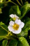 Fragole di giardino dei fiori Fotografie Stock Libere da Diritti