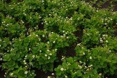Fragole di giardino dei fiori Immagine Stock