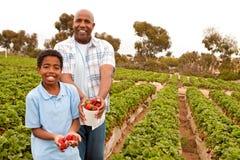 Fragole di raccolto del figlio e del padre fuori Fotografia Stock Libera da Diritti