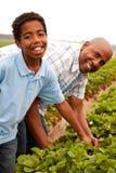Fragole di raccolto del figlio e del padre fuori Fotografia Stock