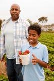 Fragole di raccolto del figlio e del padre fuori Fotografie Stock