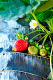 Fragole fresche in giardino Immagine Stock
