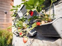 Fragole mature e non mature che pendono dalle file delle piante di fragola Fotografia Stock
